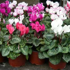 Photo de Mini Cyclamen