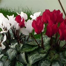 Photo de Cyclamen patio coloris variés