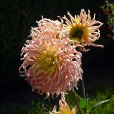 Photo de Dahlia cactus Fringed Star