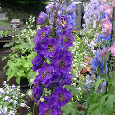 Photo de Delphinium Black Knight, Pied d'Alouette Géant