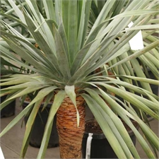Photo de Dragonnier des Canaries, Dracaena draco