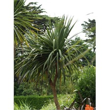 Photo de Cordyline Dracaena indivisa