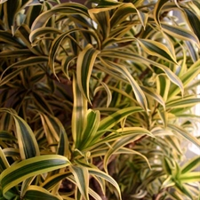 Photo de Dracaena Song of India
