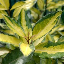 Photo de Elaeagnus ebbengei Eleador® 'Lannou'