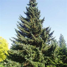Photo de Picea omorika