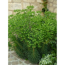 Photo de Euphorbia characias Humpty Dumpty