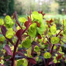 Photo de Euphorbia amygdaloides Purpurea