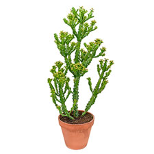 Photo de Euphorbia mauretania