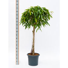 Photo de Ficus alii tige