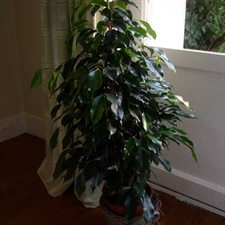 Photo de Ficus benjamina