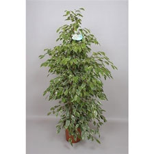 Photo de Ficus benjamina panaché
