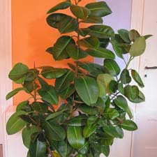 Photo de Caoutchouc, Ficus elastica