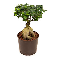 Photo de Ficus ginseng en bonsaï