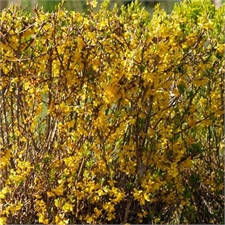 Photo de Forsythia x intermedia Spectabilis