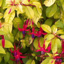 Photo de Fuchsia Genii