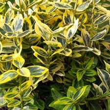 Photo de Fusain (Euonymus fortunei) Emerald'n Gold