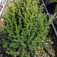 Photo de Genèvrier 'Stricta', Juniperus chinensis Stricta