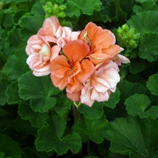Photo de Géranium zonale rose (Pelargonium zonale)
