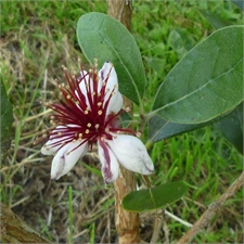 Photo de Feijoa sellowiana, Goyavier du Brésil