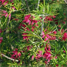 Photo de Grevillea juniperina