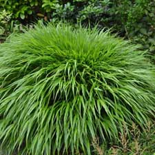 Photo de Hakonechloa macra, Herbe du Japon