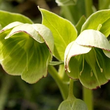 Photo de Hellebore fétide