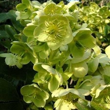 Photo de Hellebore livide - Helleborus lividus