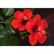 Photo de Hibiscus rose de Chine coloris variés