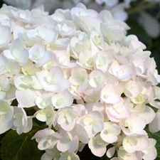 Photo de Hortensia à grande feuilles Endless Summer® The bride®