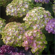 Photo de Hortensia Magical Amethyst®