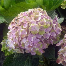 Photo de Hortensia Magical Coral®