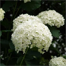 Photo de Hydrangea arborescens Strong Annabelle ® (Incrediball ®)