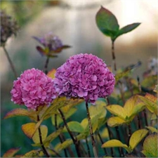 Photo de Hortensia rose grande taille