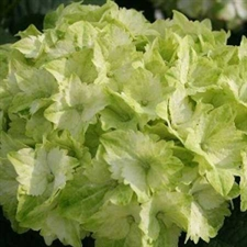 Photo de Hortensia Magical Jade®