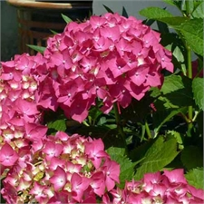 Photo de Hortensia rouge, Hydrangea macrophylla rouge