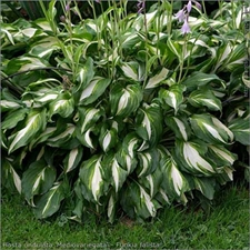 Photo de Hosta undulata mediovariegata