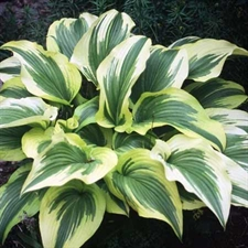 Photo de Hosta aureomarginata