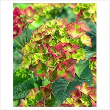 Photo de Hortensia à grandes feuilles Green Shadow
