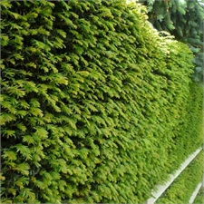 Photo de If commun (Taxus Baccata) le lot de 3 plantes