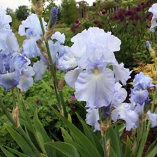 Photo de Iris des jardins Babbebling Brook