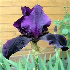 Photo de Iris des jardins Black Knight