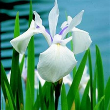 Photo de Iris Laevigata 'Snowdrift'
