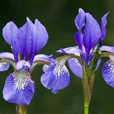 Photo de Iris versicolor