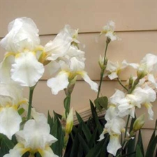 Photo de Iris des jardins White Knight