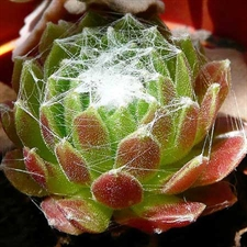 Photo de Joubarde - Sempervivum