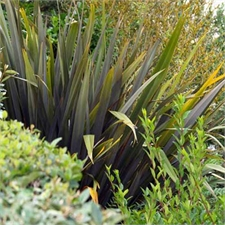 Photo de Phormium pourpre