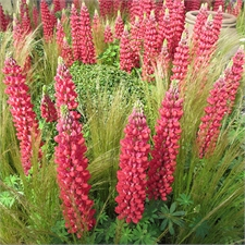 Photo de Lupin vivace Gallery rouge