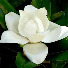 Photo de Magnolia grandiflora Galissonière