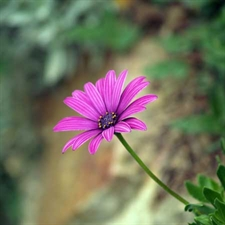 Photo de Osteospermum Mauve