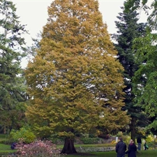 Photo de Metasequoia glyptostroboides
